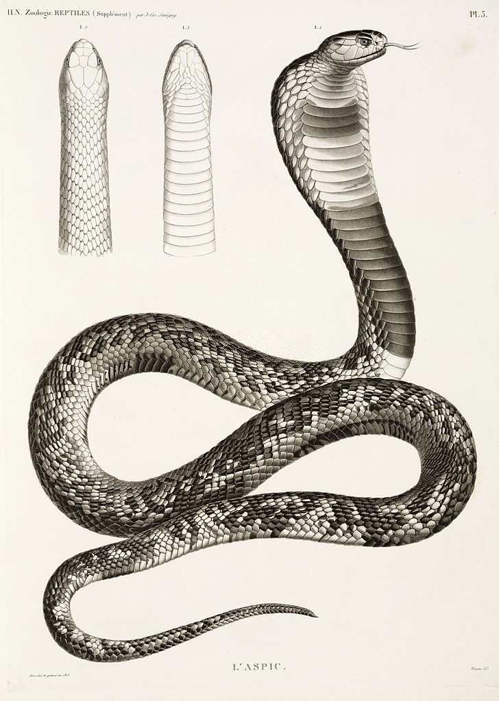 Egyptian cobra, 1813.